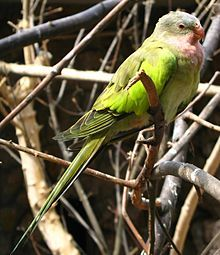 Princess Parrot - Wikipedia, the free encyclopedia