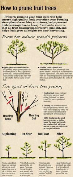 How to prune fruit trees. #garden #fruit