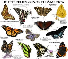Butterflies of North America Poster Print Fine art illustration of various species of butterfly nati Beautiful Bugs, Beautiful Butterflies, Names Of Butterflies, Butterfly Identification, Bug Identification, Butterfly Species, Bugs And Insects, Beautiful Posters, Blue Butterfly