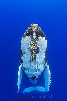 Humpback whale, Megaptera novaeangliae, with parasitic acorn barnacles attached under chin