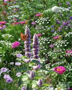 English garden for butterflies and hummingbirds.