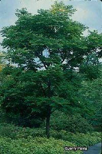 Kentucky Coffee Tree: THIS should be our state tree.