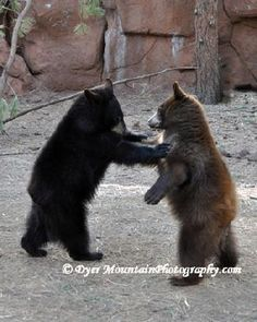 black bear, brown bear........