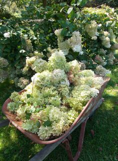 Local Pittsburgh Pa Area Wedding Flowers Fresh Cut White Hydrangeas  for Bouquets (Pee Gee) -
