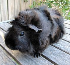 Abyssinian Breed of Guinea Pig -- my first was this breed ^.^