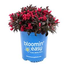 Bloomin' Easy Electric Love Weigela L gal.) pot Attracts pollinators Stunning red blooms and dark foliage Easy Care Plants, Photo Center, Seed Pods, How To Level Ground, Garden Beds, Shrubs, Love, Winter Temperature, Spark Up