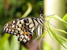 borboletas exóticas - Pesquisa Google