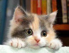 A Cute Baby Calico Fluffy Cat