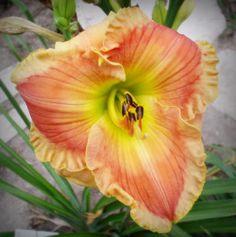 Honey on My Lips - (Olson-E., 2004) height 32in (81cm), bloom 6in (15.0cm), season EM, Rebloom, Semi-Evergreen, Tetraploid, 18 buds, 3 branches,  Honey with peach eye above light green throat. (Momentum × unknown)