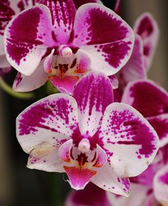 Orchid Blossoming by Hsu, Kuang-Chung, via Flickr