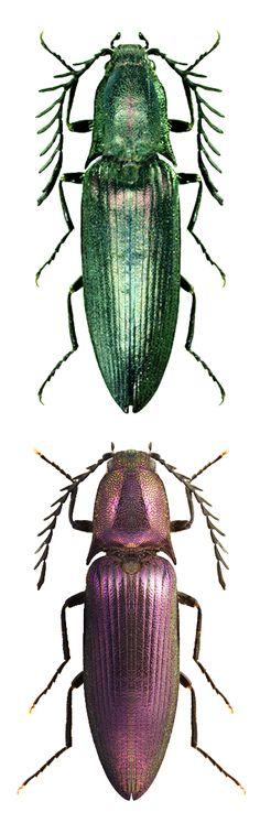 Ctenicera cuprea, green and purple forms –  ELATERIDAE; Elaterinae;