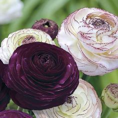 "Ranunculus Purple (Purple Persian Buttercups) - Royal purple roses have big 3"" - 4"" blooms – and a single bulb can produce dozens of flowers! Ravishing perennials, they grow 10-15"" tall.  Where winters are mild (zones 8-11), plant ranunculus bulbs in Fall for early spring flowers. Good container plants."