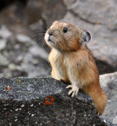 northern pica ~ It looks like a toy.