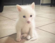 Have You Seen the Baby White Fox Whose Cuteness Is Owning the Internet? Super Cute Animals, Cute Funny Animals, Cute Baby Animals, Cute Dogs, Sleepy Animals, Animals And Pets, Wolf Hybrid, Animals Are Beautiful People, Wild Animals Photos