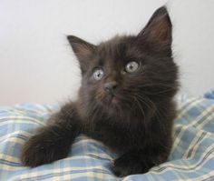 Simon is an adoptable Domestic Long Hair-Black Cat in Yukon, OK. Absolutely beautiful long-haired black kitten! A lady brought him into the shelter because he and his two siblings had been dumped outs...