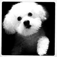 Bichon puppy opawz.com  supply pet hair dye,pet hair chalk,pet perfume,pet shampoo,spa....
