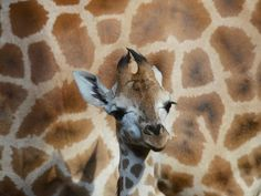 A 1-month-old Rotschild giraffe stands in front of her mother at a zoo in Prague.