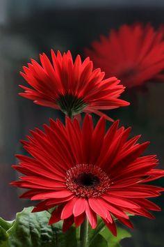 Гербера (50 фото цветов): виды и правила ухода http://happymodern.ru/gerbera-42-foto-cvetov-vidy-i-pravila-uxoda/ Эффектная красная гербера