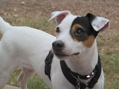 Our beautiful Jack Russell Terrier, Kacy