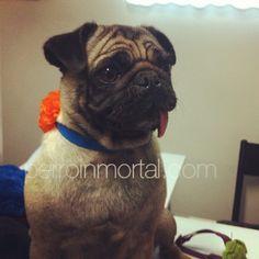 Tina #pug , le saca la lengua a los que aún no tienen collar de @kinkymascotas