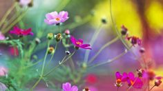 Download Amazing Flowers wallpapers for Widescreen, Fullscreen, High Definition, Dual Monitors free of cost from Allmood.
