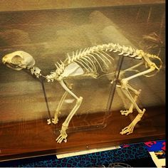#Regram of a cat skeleton from @marty_party_smarty in #EVIT #VetAssistant. #WeAreEVIT