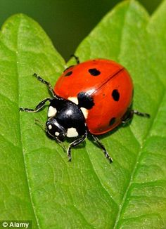 Risultati immagini per ladybird pebbles Ladybird Images, Ladybird Ladybird, Animals And Pets, Cute Animals, Animals Planet, Plant Bugs, World Environment Day, A Bug's Life, Beautiful Bugs