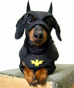 "Adorable ""bat dog"" - someone's sweet super hero"