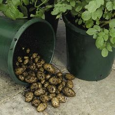 How to grow potatoes in pots or containers