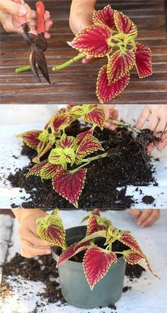 Detailed guide on how to grow healthy Coleus: sun, shade, water, and soil requirements, and how to propagate Coleus from cuttings easily in 2 ways! Plus beautiful Coleus varieties and inspirations on how to use them in a garden. - A Piece of Rainbow Propagating Plants, Plants, Container Gardening Flowers, Home Vegetable Garden, Container Flowers, Flower Garden, Shade Plants, Garden Plant Pots, Shade Garden