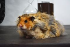Hamster Pics, Bear Hamster, Hamster Stuff, Hamster Care, Dwarf Hamsters, Cute Hamsters, Animals And Pets, Funny Animals, Cute Animals