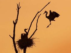 Ramin Izadpanah's silhouette photograph of a blue heron landing to feed her chicks, taken from a spot on Rideau River Road in Kemptville, was named the 2016 Wildlife Photo of the Year in the flora and fauna category by Canadian Geographic.