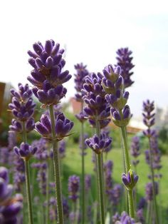 Need to plant lavender out back beside the patio to make it smell pretty.