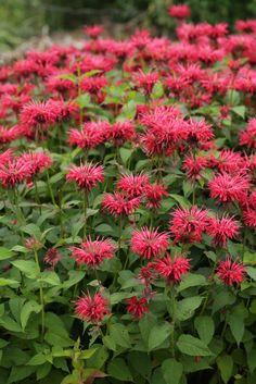 7 Medicinal Herbs for Urban Gardens: Bee Balm
