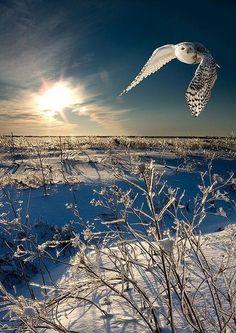 Le harfang-des-neiges, symbole aviaire du Québec.
