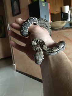 Raul..Boa constrictor