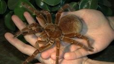Scientia - Goliath Spider