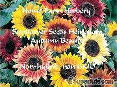 Sunflower Heirloom Seeds - Autumn Beauty Order now, FREE shipping in New York NY - Free New York SuperAds