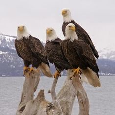 Bald Eagles in Alaska by guadalupe...