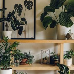 We're all wedding-ed out (in a good way) and looking forward to heading out for breakfast with friends and then spending the day with these guys 👆🏼 #HaarkonHouse #Haarkon #plants #indoorplants #houseplants #calathea #crassula #plantsmakepeoplehapoy #botanical #botanicalpickmeup #outsidein #natureinthehome #aquietstyle #homestyle #interior #plantsonplants #instaplant #indoorgarden #planthoarder #plantstyling #wild #naturelover #urbanjunglebloggers #welcometothejungle #livingwithplants