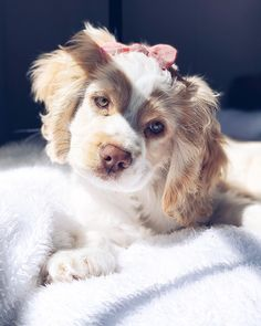 """Acquire terrific pointers on """"spaniel puppies"""". They are actually readily available for you on our website. Cute Puppy Breeds, Cute Dogs And Puppies, Pet Dogs, Dog Breeds, Doggies, Cute Baby Animals, Animals And Pets, Funny Animals, Perro Cocker Spaniel"""