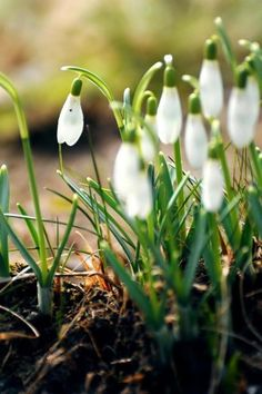 Snowdrops-the first sign of spring