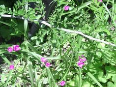 Late June shade garden