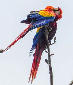 Lapa love! A couple of scarlet macaws nuzzling together! Lapa Rios Eco Lodge via @laparioscr #CostaRicaExperts#CostaRica#puravida#travelcostarica#crfanphotos#costaricaphoto#costaricagram#costaricapuravida Costa Rica Travel, Vacation Trips, Rio, Love, Pura Vida, Amor