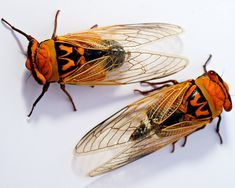 Golden drummer cicada - My list of the most beautiful animals Australian Insects, Cicada Tattoo, Potnia Theron, Leafhopper, Cool Bugs, A Bug's Life, Beetle Bug, Beautiful Bugs, Insect Art