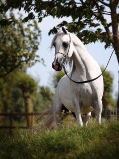 Jumanah-D / Arabian horses