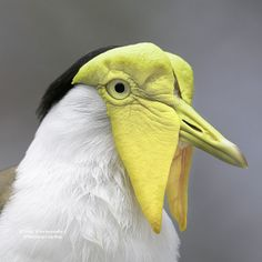 Masked Lapwing Portrait at the Tampa Lowry Park Zoo, Florida Small Birds, Colorful Birds, Little Birds, Pretty Birds, Beautiful Birds, Animals Beautiful, African Grey Parrot, Animal Magic, Rare Birds