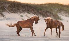 Wild Horses - Corolla, NC