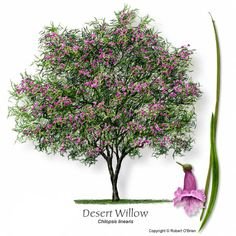 Heimisch in unserer Gegend, dürreresistent … Desert Willow. I think this is the winner. Native to our area, drought-resistant, and absolutely beautiful! Desert Willow Tree, Desert Trees, Desert Plants, Texas Landscaping, Landscaping Plants, Xeriscape Plants, Trees And Shrubs, Trees To Plant, Flowering Trees