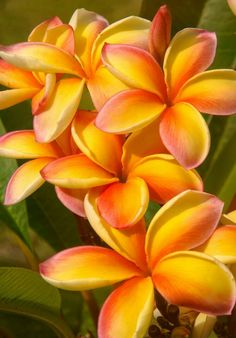 The mere mention of Hawaii conjures up images of this beautiful fragrant Plumeria flower! Exotic Plants, Exotic Flowers, Orange Flowers, Tropical Flowers, Colorful Flowers, Beautiful Flowers, Plumeria Flowers, Hawaiian Flowers, Flowering Trees